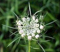Carotte sauvage en fleurs