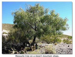 No1mesquite-tree