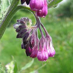 Consoude - fleurs