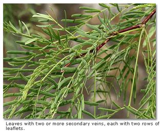 No3mesquite-leaves
