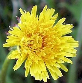 Pissenlit (fleur)