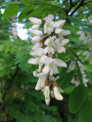 Fleurs comestibles d'acacia