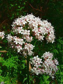 Valériane - Fleurs