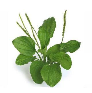 Plantain2