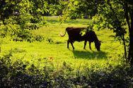 Vache dans prairie
